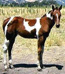 photo of tobiano filly For Sale